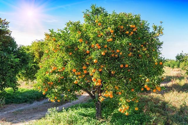 Mandarinszüret a Neretva- völgyében